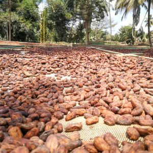 Drying cocoa beans at Kokokamili in Tanzania | Wasabini